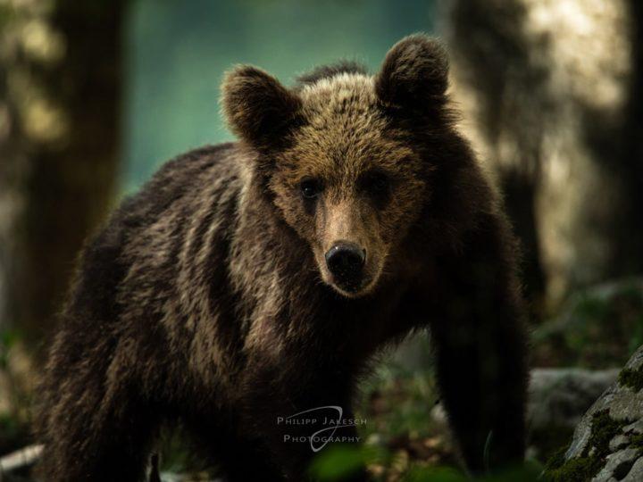 Fotoreise zu den Bären Sloweniens